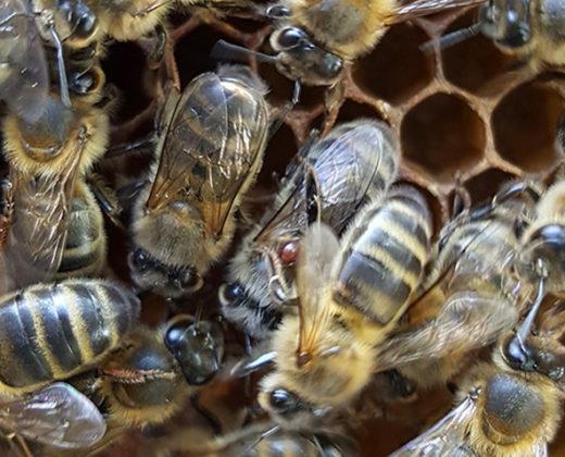 Varroa en phorésie sur une abeille