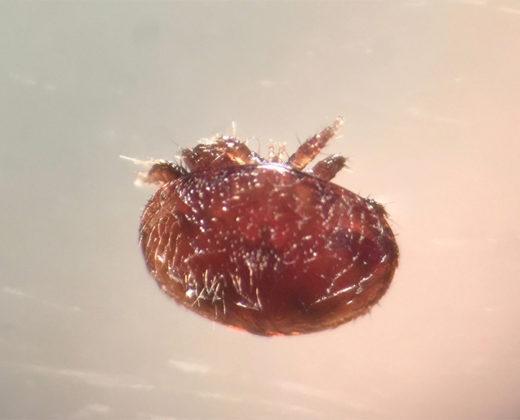 Femelle Varroa
