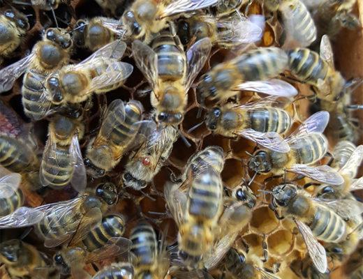 Varroa phorétique sur une abeille