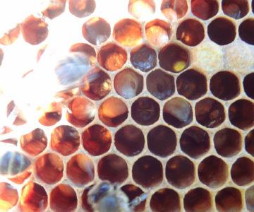 Varroas dans le couvain